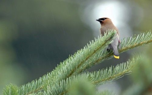 Cedar Wax Wing by Raymond Lavoie