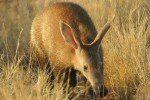artful aardvark