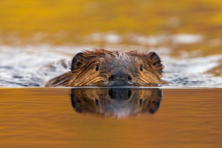 bionic beaver